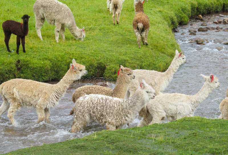 Lamas herd crossing river. Brown and white lamas and alpacas herd walks in the Andes altiplano mountains stock image