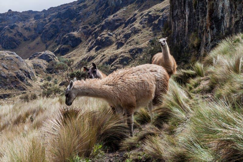 Lamas im Nationalpark Cajas stockfotografie