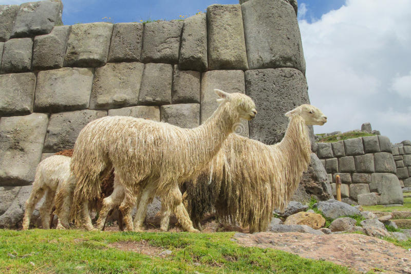 Lamas in inca ruins. In Peru stock photography