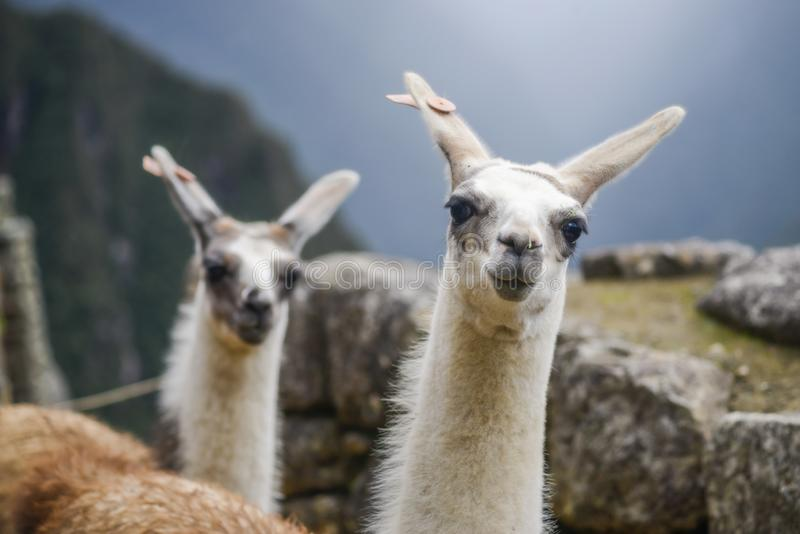 Lamas looking at camera royalty free stock photography