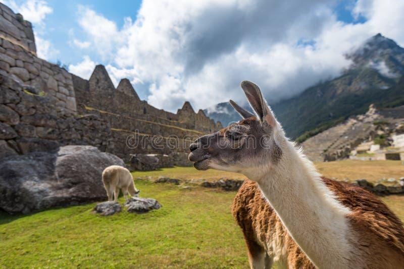 Lamas at Machu Picchu, UNESCO World Heritage Site in Peru stock images