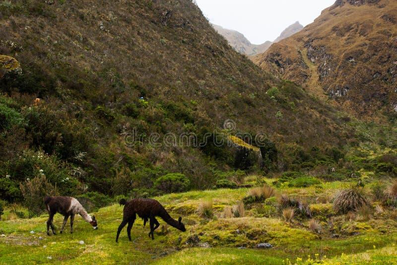 Lamas mangeant l'herbe verte sur les Andes le long d'Inca Trail Aucune personnes images stock