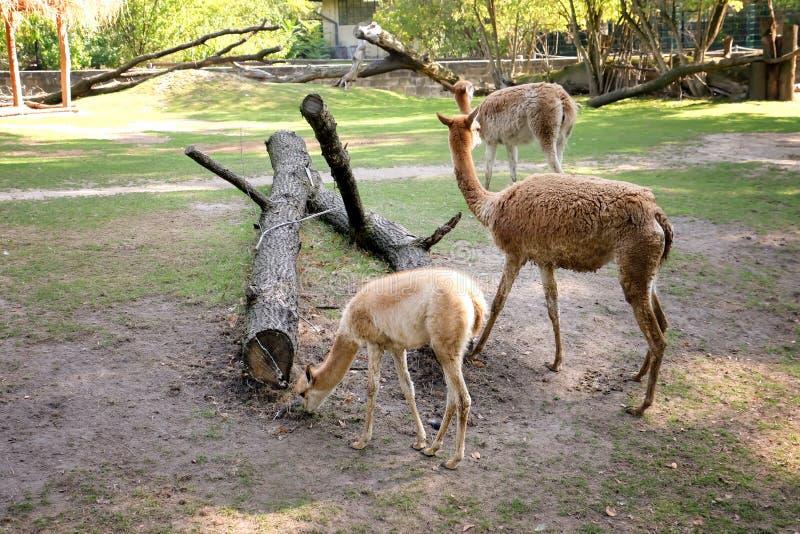 Lamas mignons dans le jardin zoologique photo libre de droits