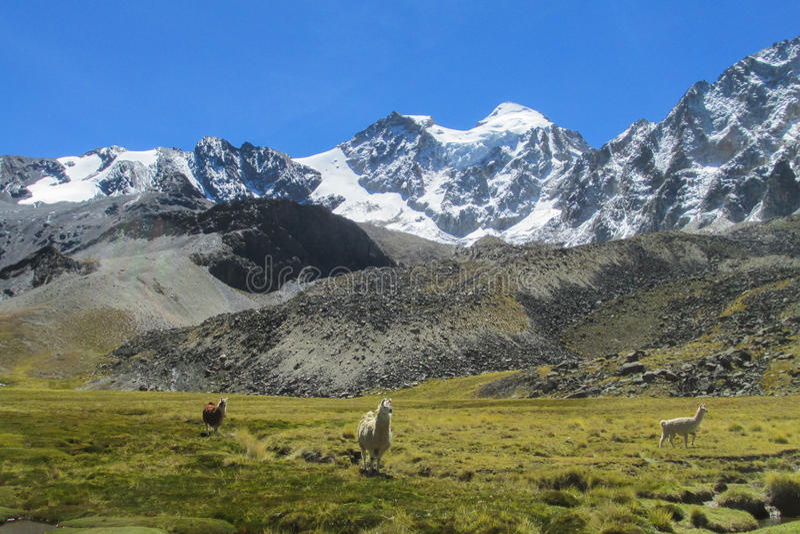 Lamas on mountain green meadow near snow mount. Lamas on mountain green meadow at the altiplano snow mountains in Peru and Bolivia royalty free stock photos