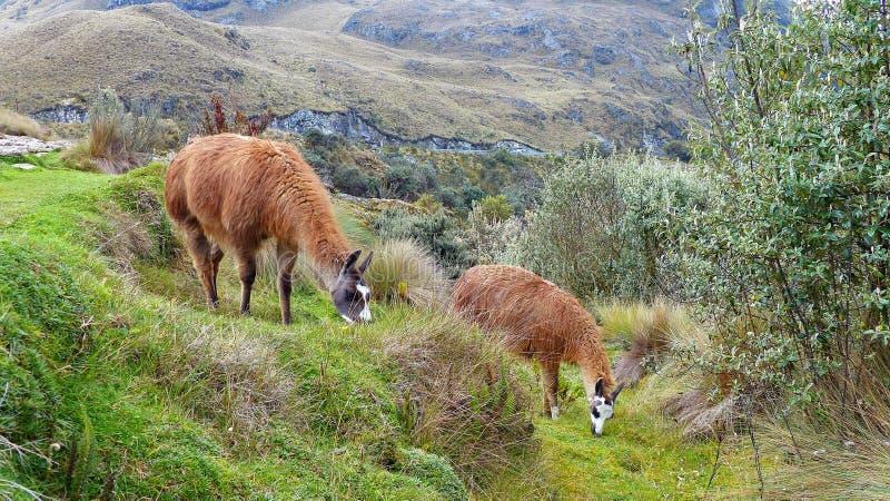 Lamas am Nationalpark Cajas, Ecuasdor lizenzfreie stockfotos
