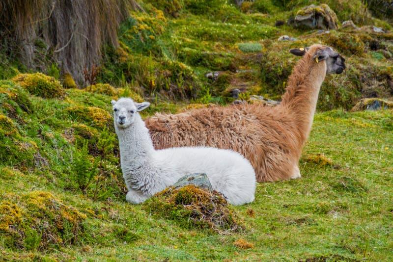 Lamas no parque nacional Cajas imagens de stock