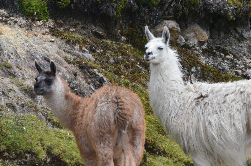Lamas no parque nacional Cajas, estação de Tres Cruces, Equador foto de stock