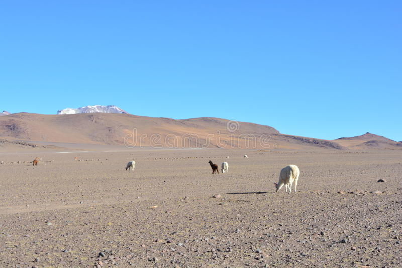 Lamas - ou alpaga - dans un désert de la Bolivie photographie stock