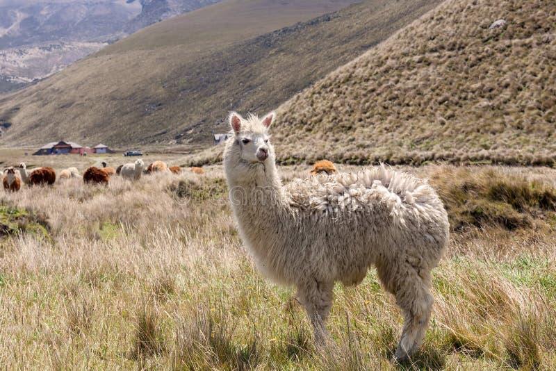 Lamas, parque nacional de Chimborazo, Ámérica do Sul imagens de stock royalty free