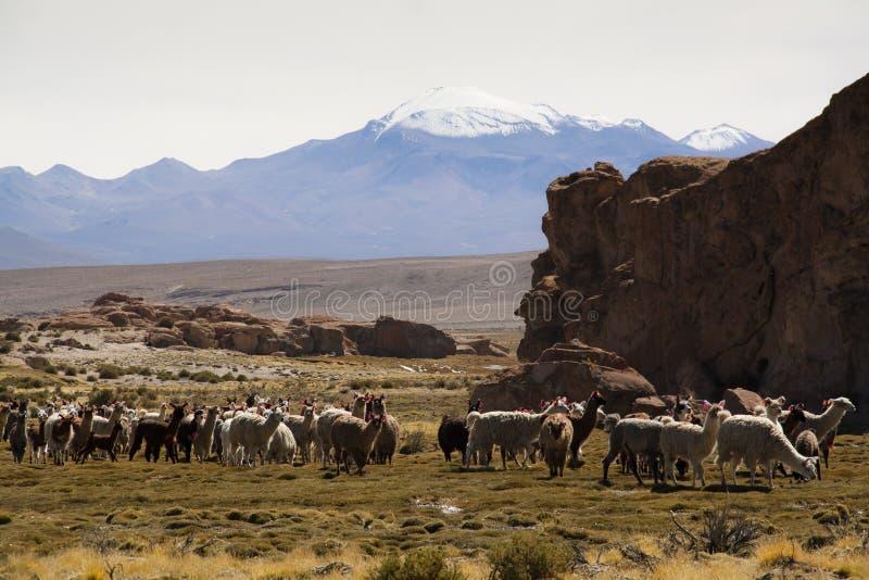 Lamas przy średniogórzami obrazy royalty free