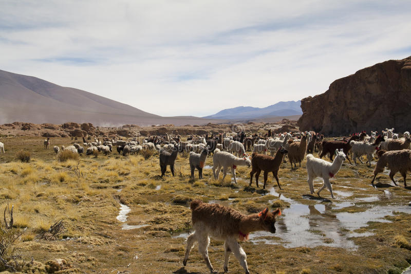Lamas przy średniogórzami fotografia stock