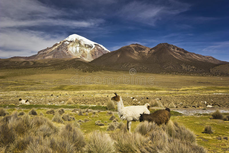 Lamas que estão e que olham o vulcão próximo Sajama em Bolívia imagem de stock royalty free