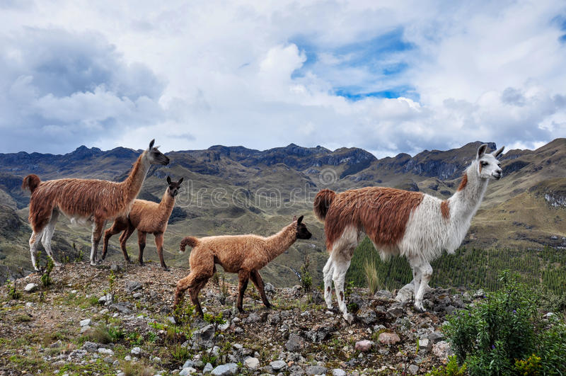 Lamas Rodzinni w El Cajas parku narodowym, Ekwador zdjęcie royalty free