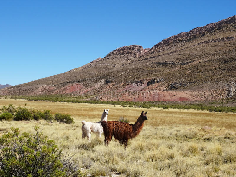 Lamas selvagens que pastam na paisagem bonita de Argentina do norte fotografia de stock royalty free
