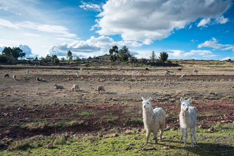 Lamas sind Front von terassenförmig angelegten Inkafeldern lizenzfreies stockfoto
