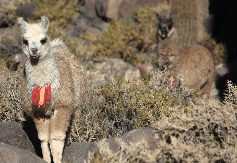 Lamas sur Isla Incahuasi image libre de droits