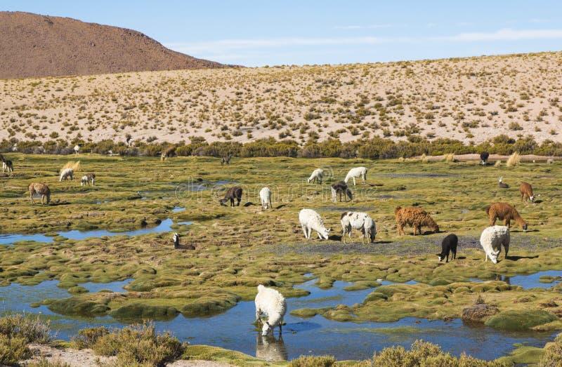Lamas sur un paysage étonnant de nature de lac en Amérique du Sud photo stock