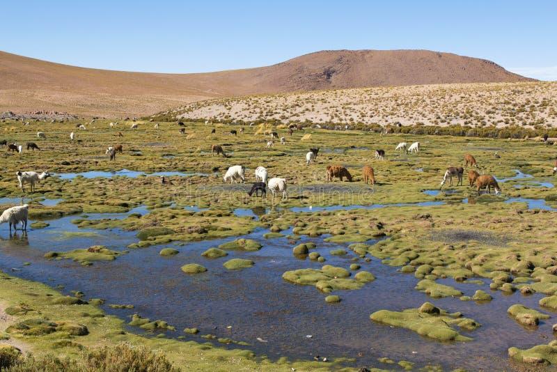 Lamas sur un paysage étonnant de nature de lac en Amérique du Sud photos libres de droits