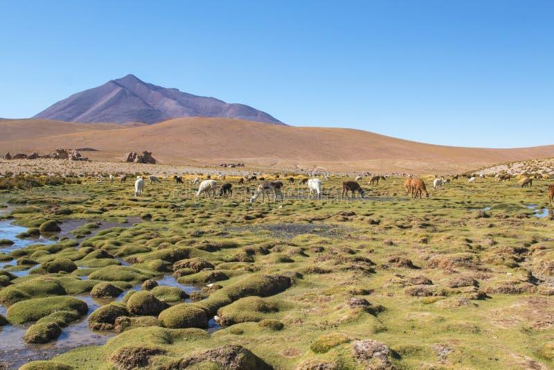 Lamas sur un paysage étonnant de nature de lac en Amérique du Sud images stock