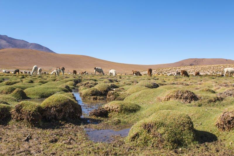 Lamas sur un paysage étonnant de nature de lac en Amérique du Sud photo libre de droits