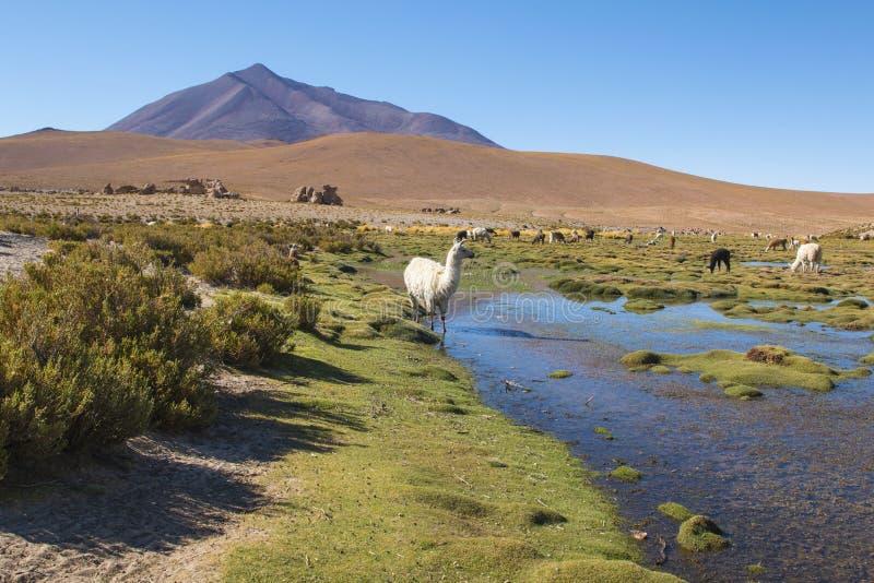 Lamas sur un paysage étonnant de nature de lac en Amérique du Sud image libre de droits