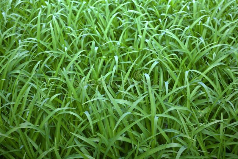Πράσινη άγρια χλόη στοκ εικόνα με δικαίωμα ελεύθερης χρήσης