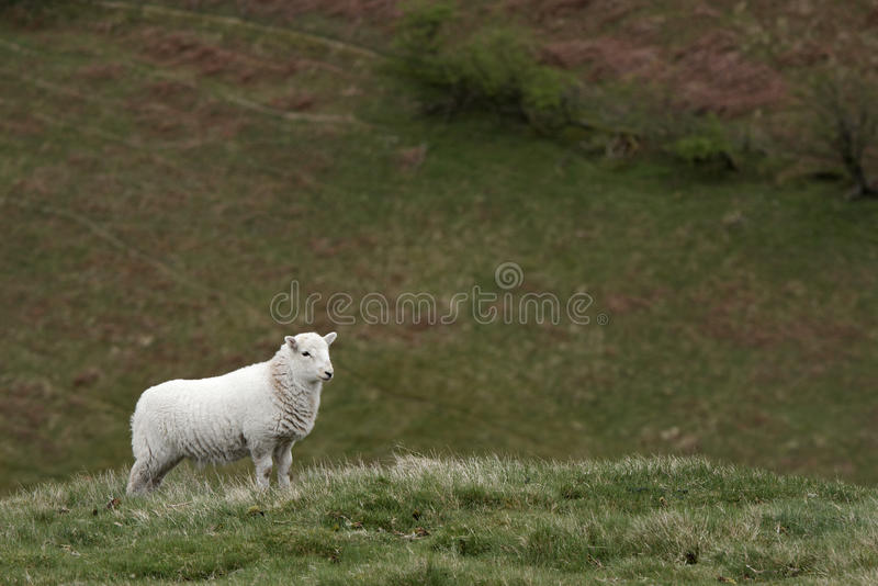 Download Lamb stock image. Image of little, livestock, hillside - 14099359