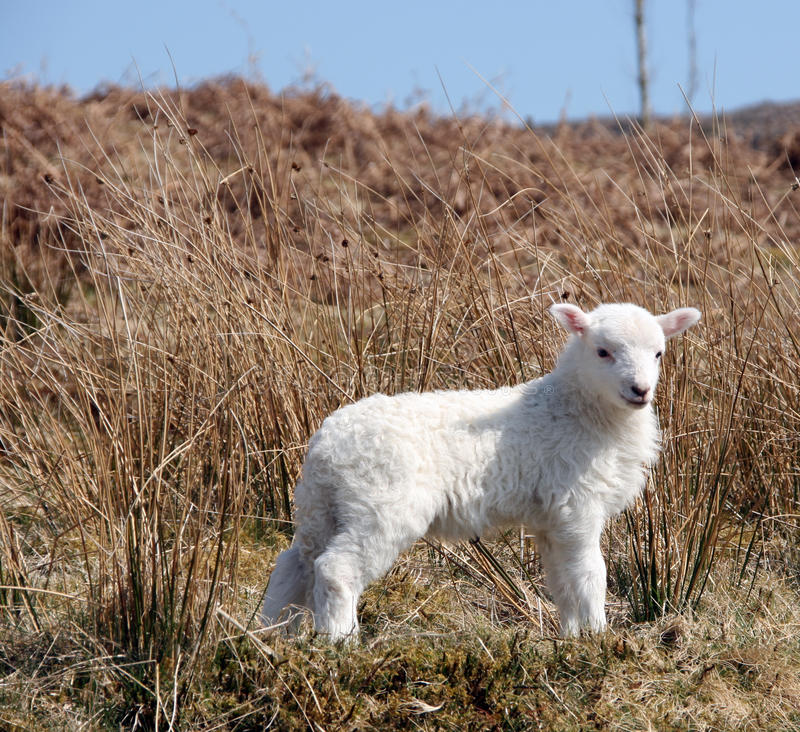 Lamb. Cute lamb in the Welsh hills royalty free stock photography