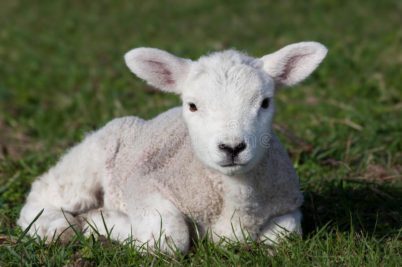 Lamb. Close-up of lamb lying in field stock images