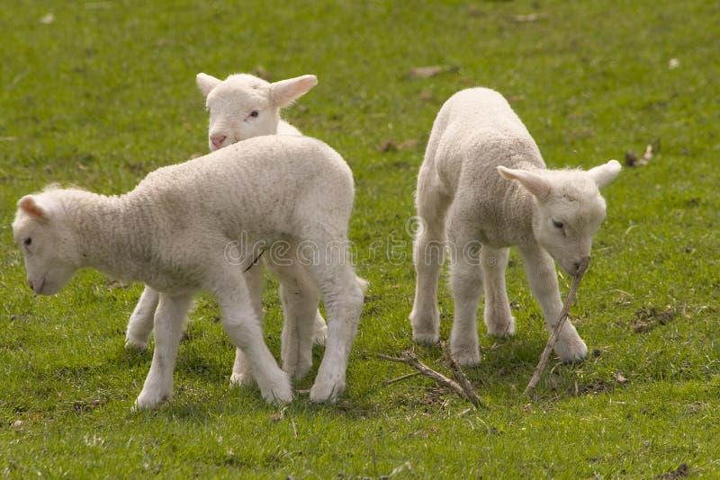 lamb 2 zdjęcia royalty free