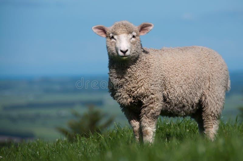 lamb fotografering för bildbyråer