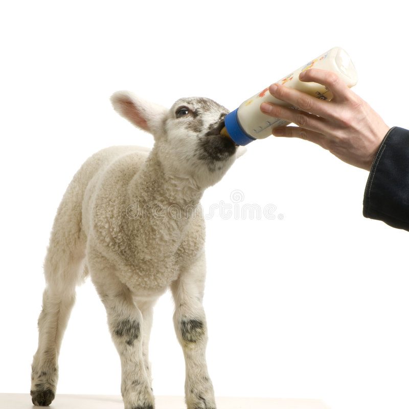 Download Lamb stock photo. Image of animal, young, lamb, bottle - 2306812