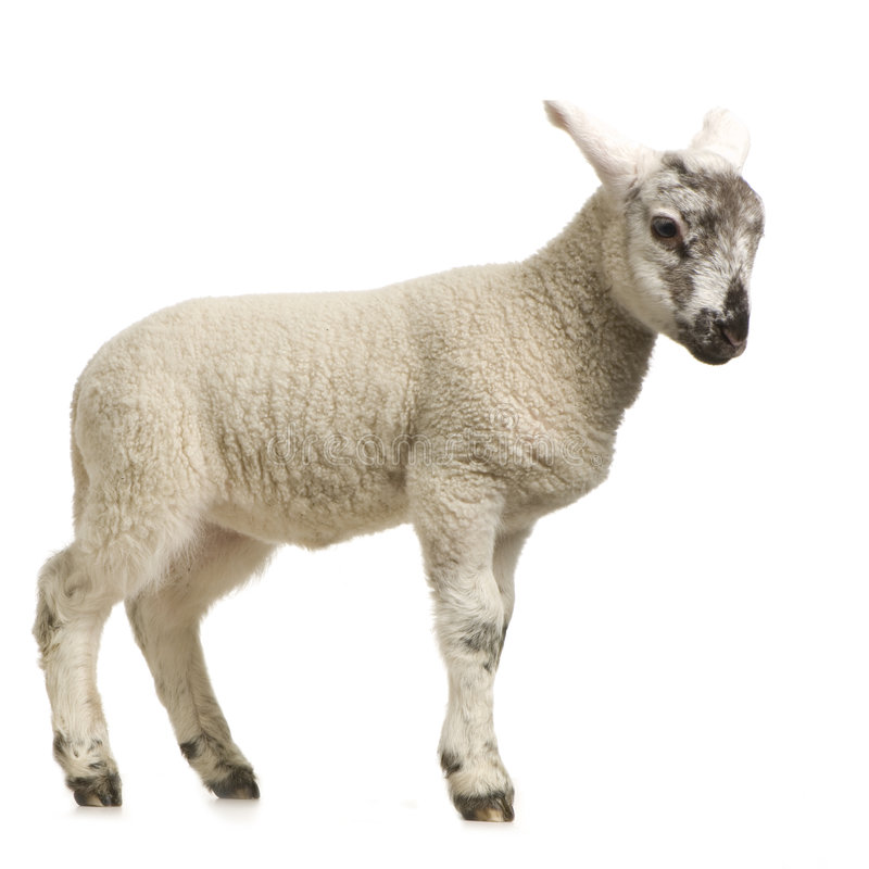 Download Lamb stock image. Image of baby, standing, sheep, domestic - 2306837