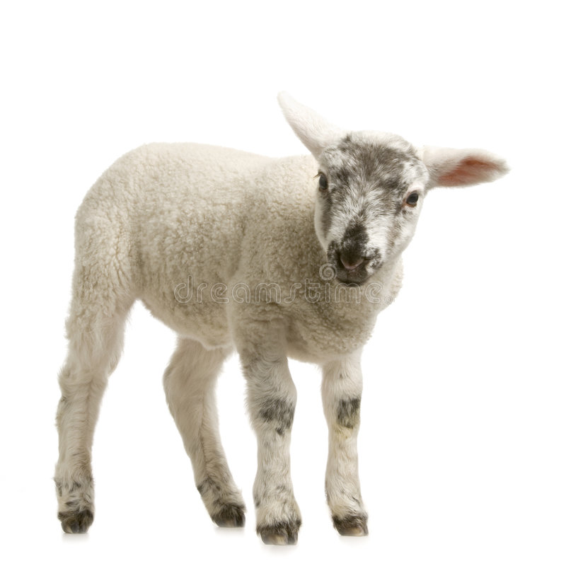 Download Lamb Stock Photography - Image: 2306852