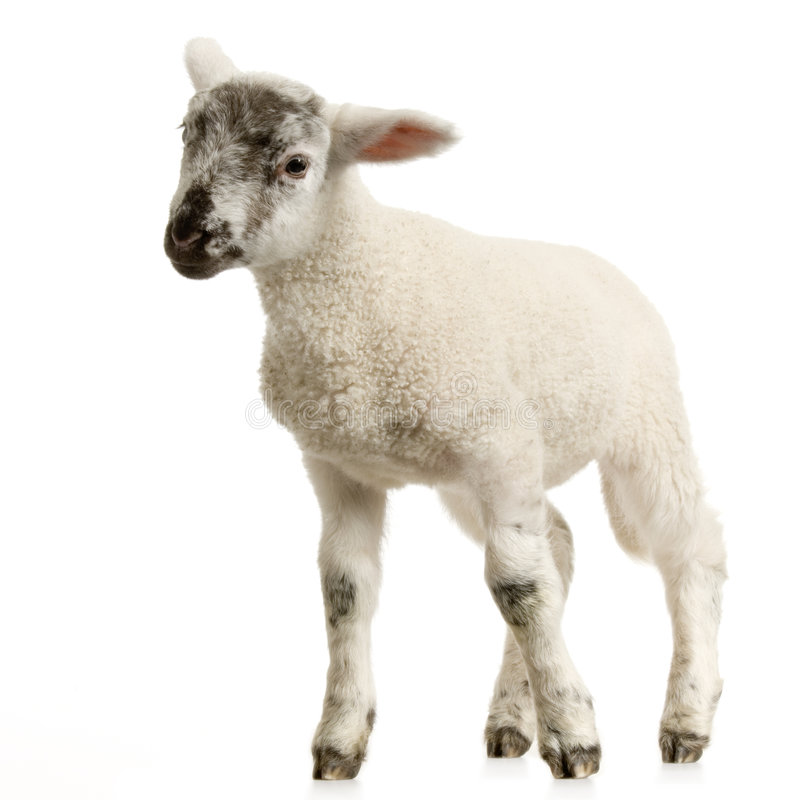 Download Lamb stock photo. Image of white, isolated, lamb, wool - 2306904