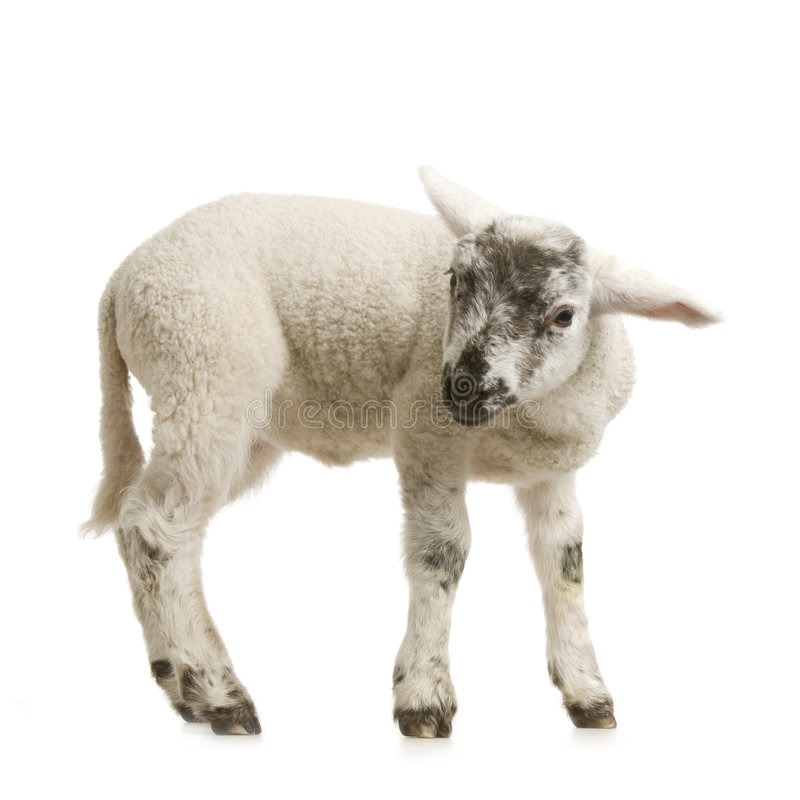 Download Lamb stock image. Image of innocence, young, lamb, white - 2306909