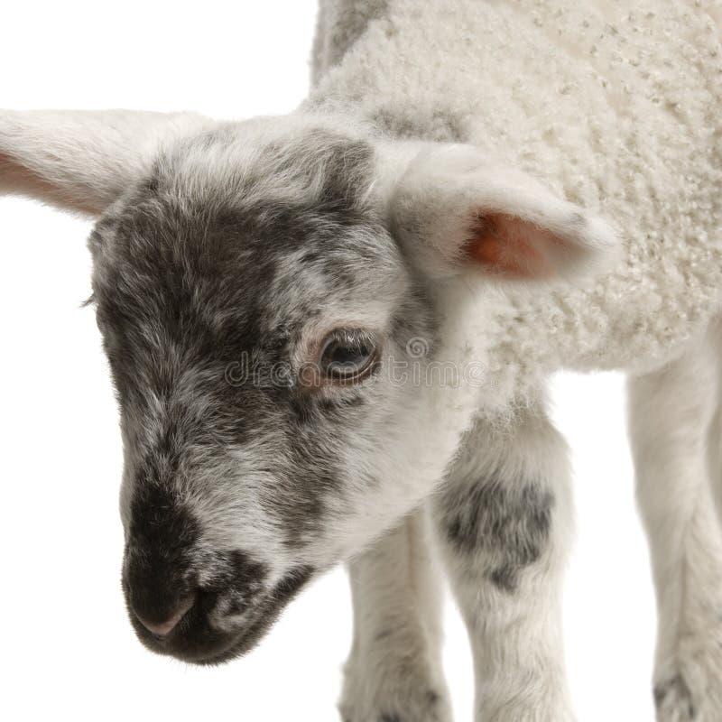 Download Lamb Royalty Free Stock Photography - Image: 2306947