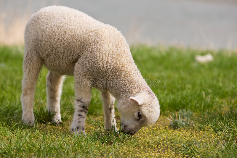 lamb zdjęcia royalty free