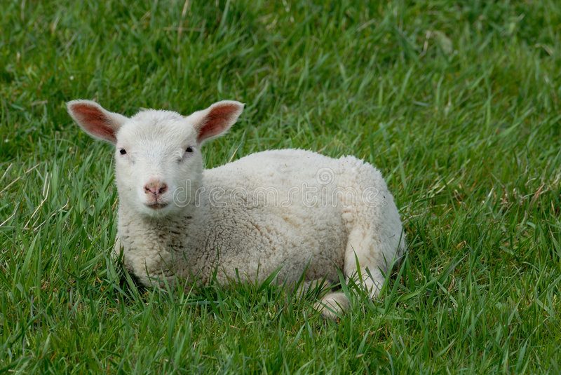 lamb obrazy royalty free