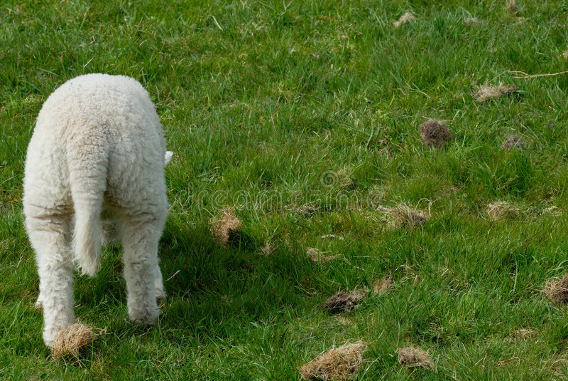 Download Lamb Stock Photography - Image: 767552