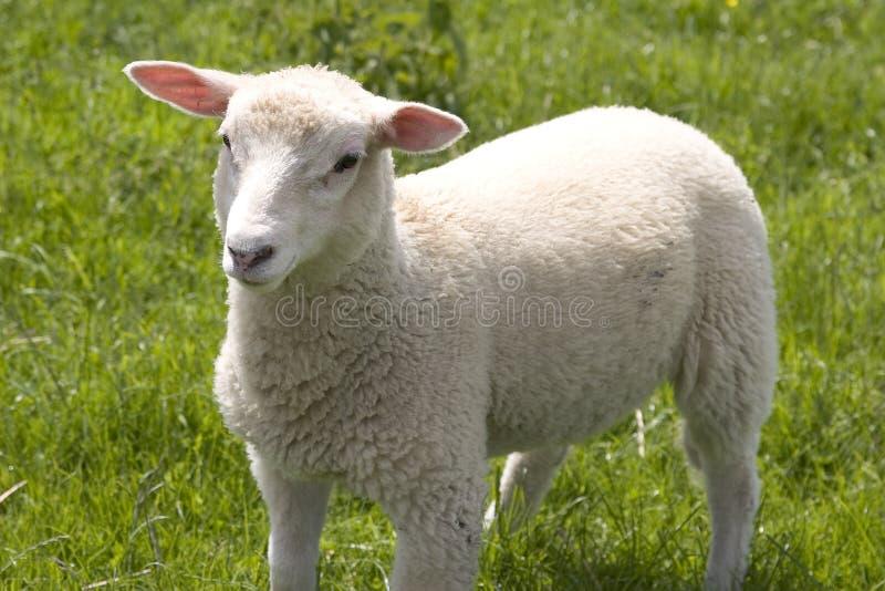 lamb obraz stock