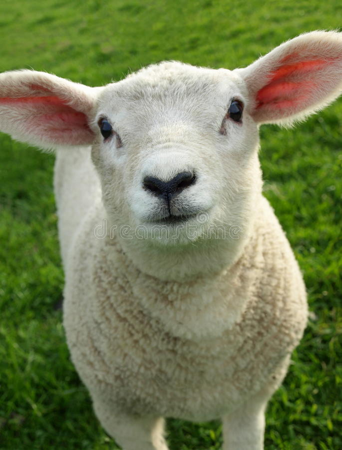 Free Lamb Royalty Free Stock Photos - 9528748