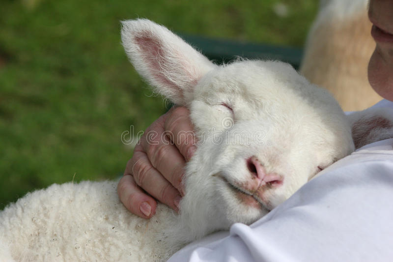 Lamb being cuddled stock photography