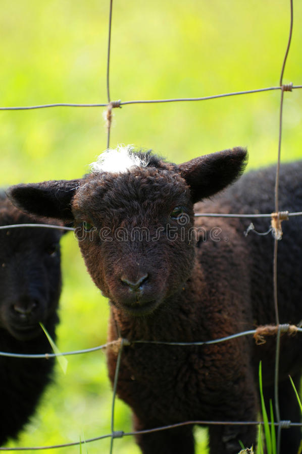 Lamb black stock images