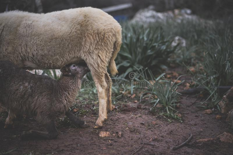 Lamb Feeding from Ewe. Lamb born in Winter, suckling from its mother in a Mediterranean Olive Grove royalty free stock images