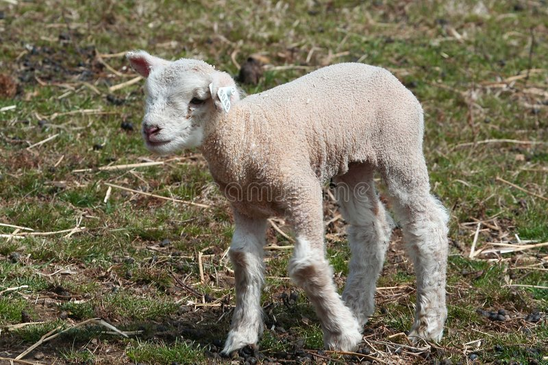 Download Lamb in countryside stock image. Image of look, field - 4851007