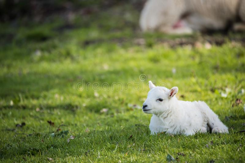 Lamb in countryside, brecon beacons stock image