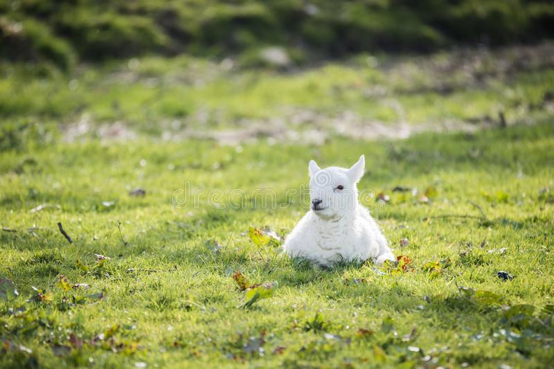 Lamb in countryside, brecon beacons stock images