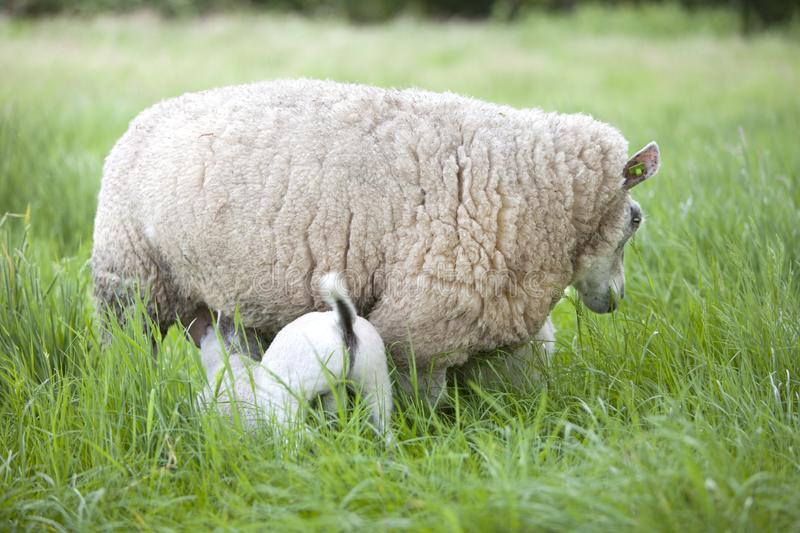 Lamb drinks from ewe in long grass of meadow. Lamb drinks from mother sheep in long grass of meadow royalty free stock image