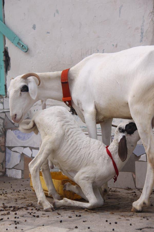 Lamb Drinks Mother s Milk